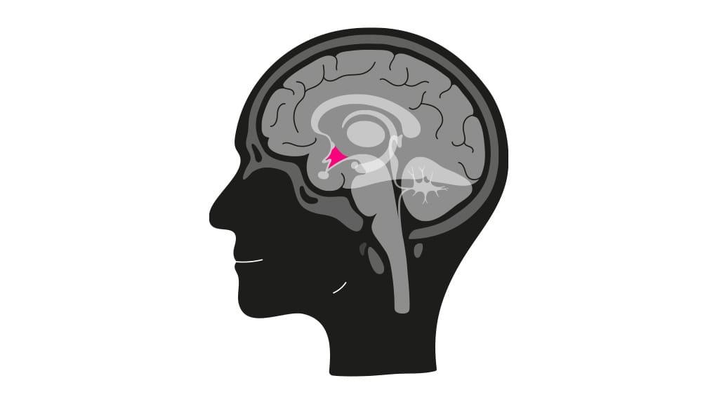 Hypothalamus, dwarsdoorsnede - Haus of Hamster